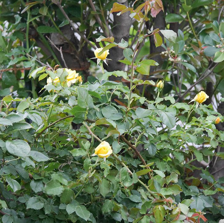 つるゴールドバニー(ツルバラ)の2番花が増えて来た。2019年-12.jpg