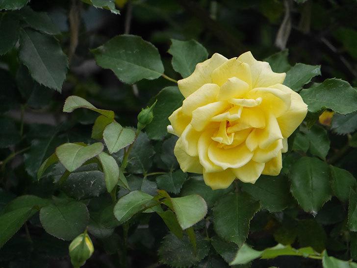 つるゴールドバニー(ツルバラ)の2番花が増えて来た。2019年-13.jpg