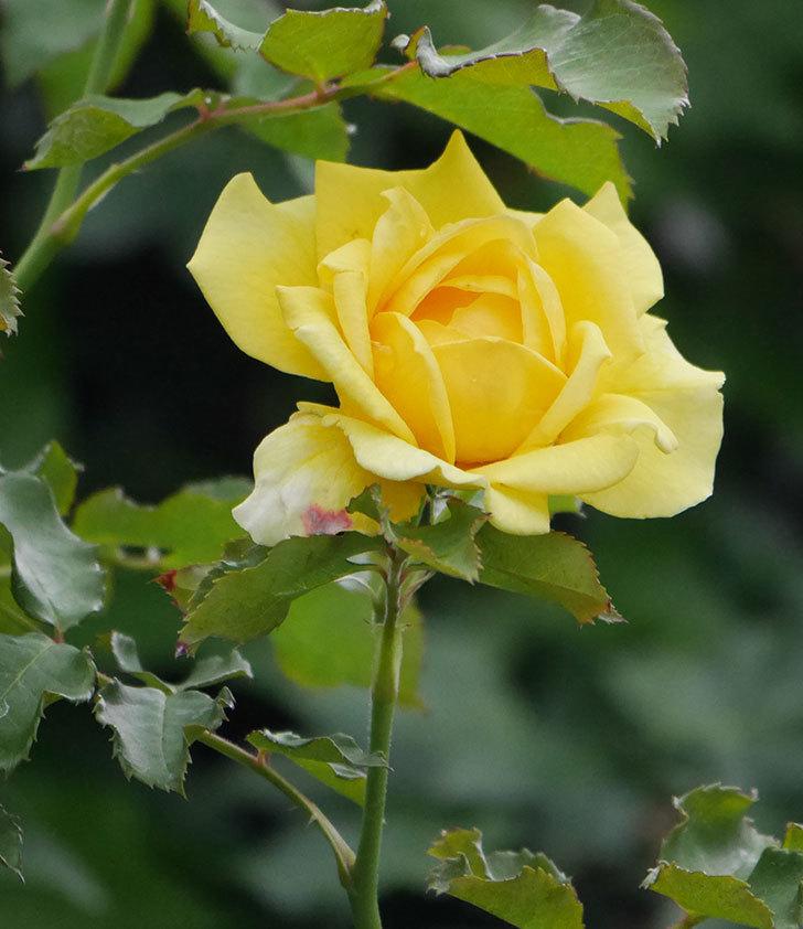 つるゴールドバニー(ツルバラ)の2番花が増えて来た。2019年-14.jpg