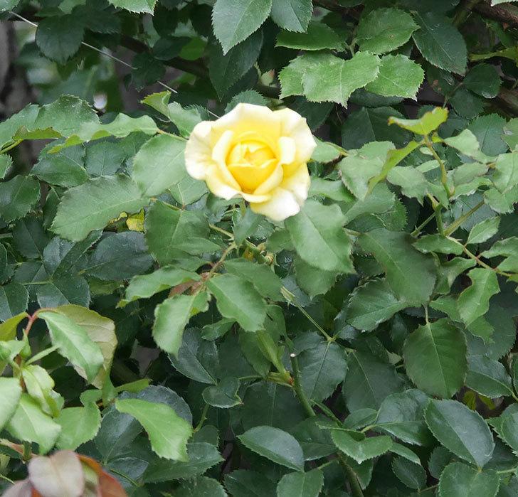つるゴールドバニー(ツルバラ)の2番花が増えて来た。2019年-17.jpg