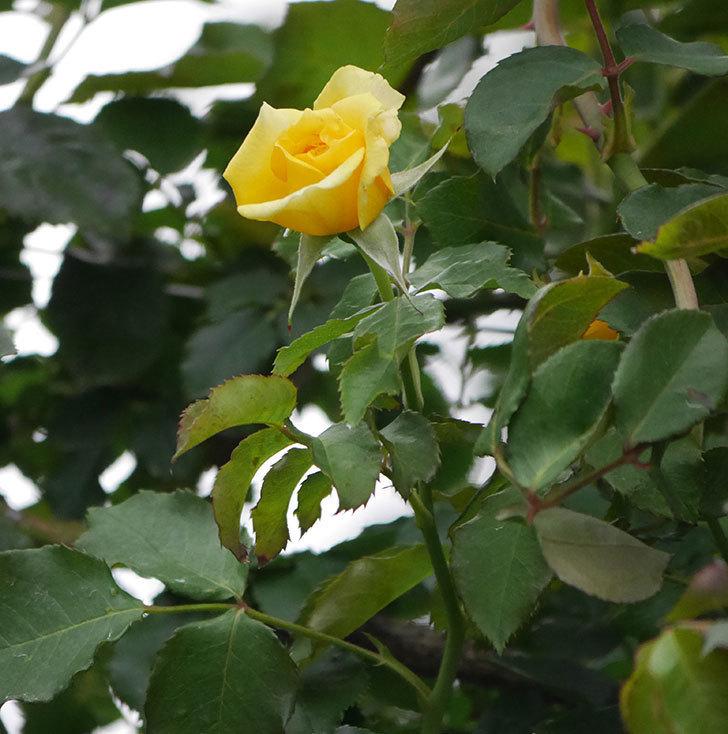 つるゴールドバニー(ツルバラ)の2番花が増えて来た。2019年-18.jpg