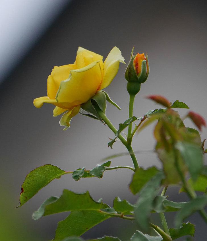 つるゴールドバニー(ツルバラ)の2番花が増えて来た。2019年-19.jpg