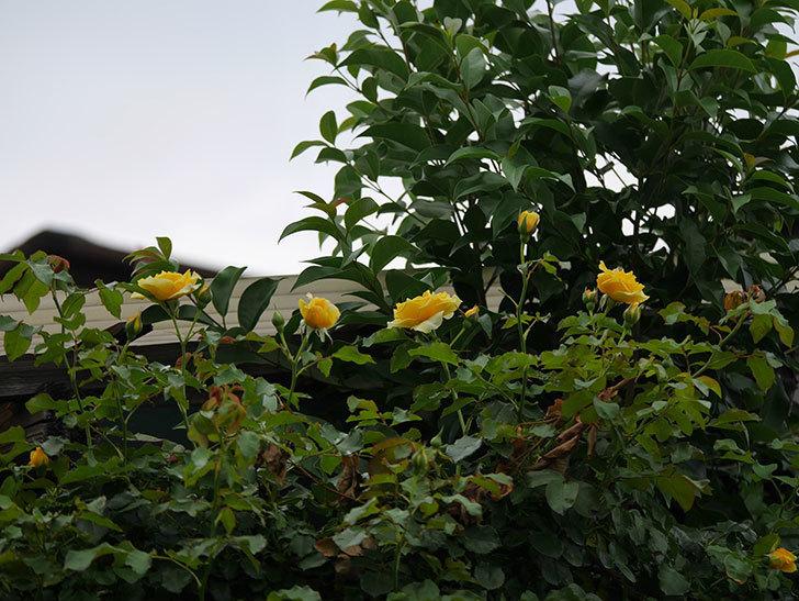 つるゴールドバニー(ツルバラ)の2番花が増えて来た。2019年-2.jpg