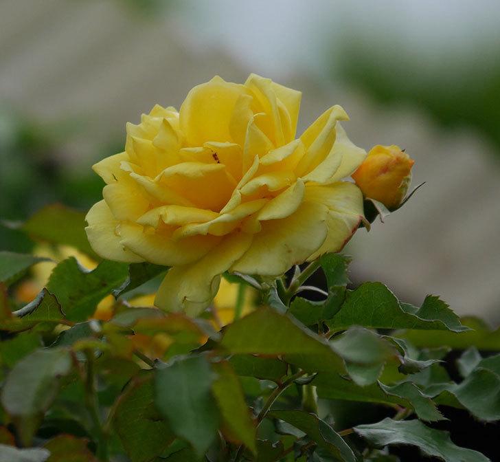 つるゴールドバニー(ツルバラ)の2番花が増えて来た。2019年-20.jpg
