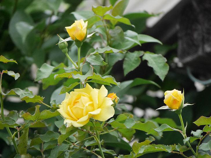 つるゴールドバニー(ツルバラ)の2番花が増えて来た。2019年-21.jpg