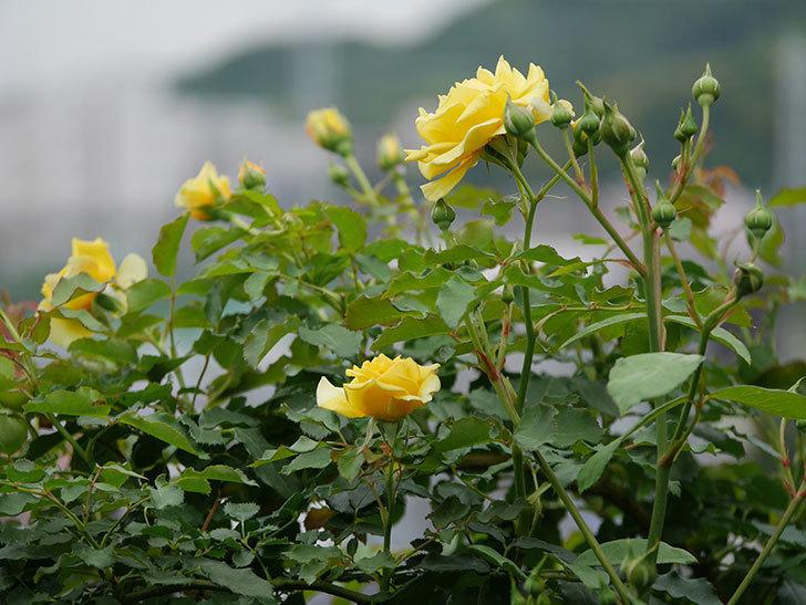 つるゴールドバニー(ツルバラ)の2番花が増えて来た。2019年-22.jpg
