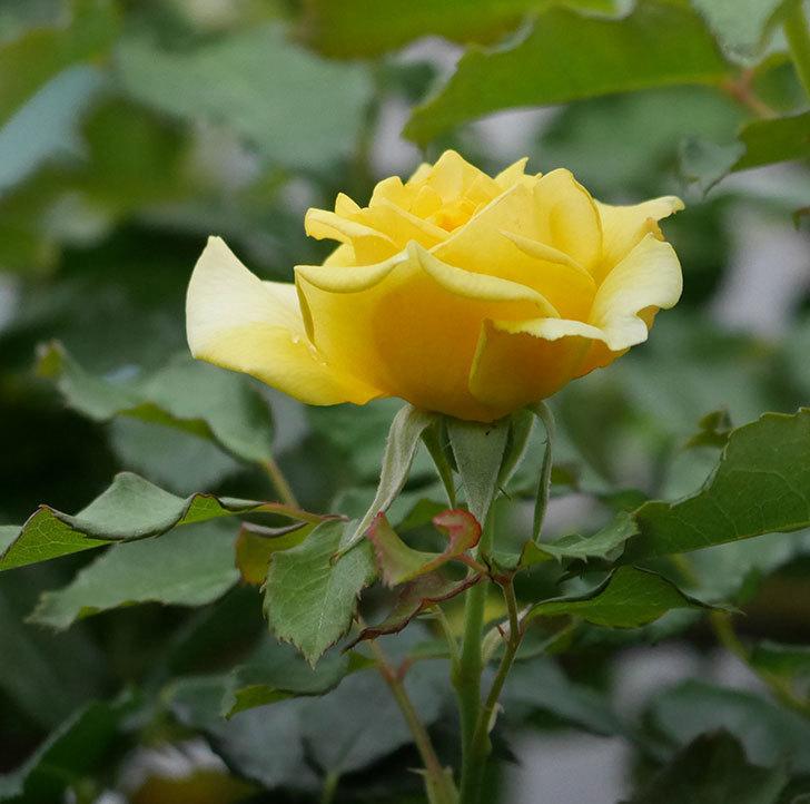 つるゴールドバニー(ツルバラ)の2番花が増えて来た。2019年-23.jpg