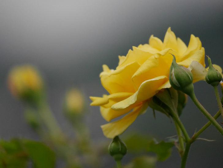 つるゴールドバニー(ツルバラ)の2番花が増えて来た。2019年-24.jpg