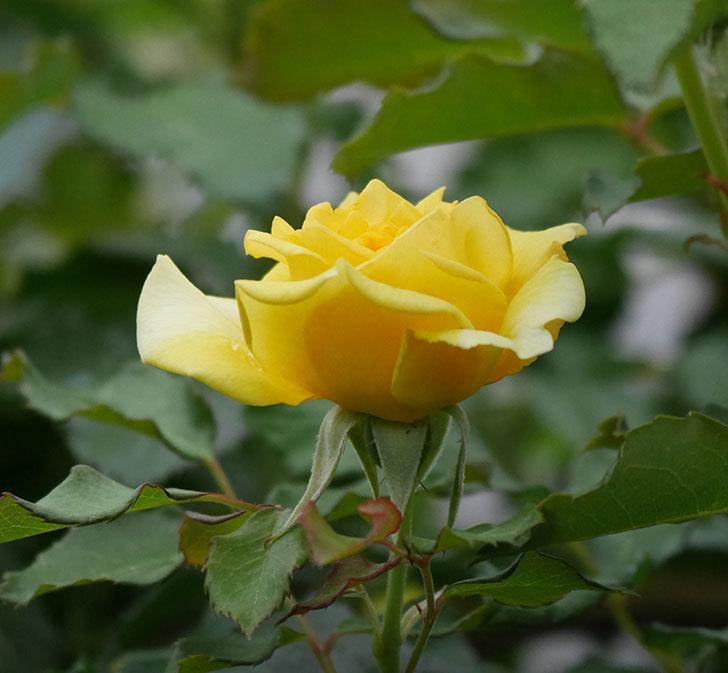 つるゴールドバニー(ツルバラ)の2番花が増えて来た。2019年-25.jpg