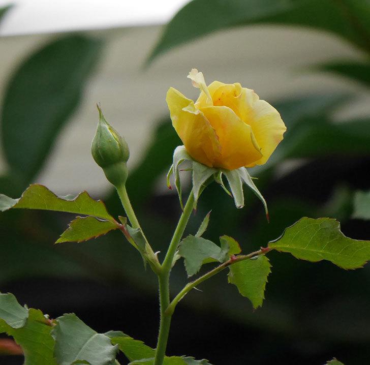 つるゴールドバニー(ツルバラ)の2番花が増えて来た。2019年-3.jpg