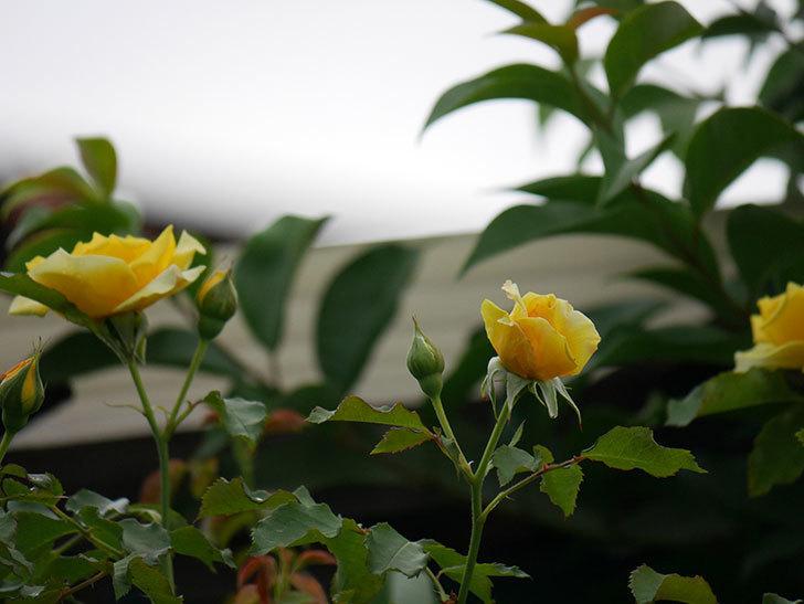つるゴールドバニー(ツルバラ)の2番花が増えて来た。2019年-4.jpg