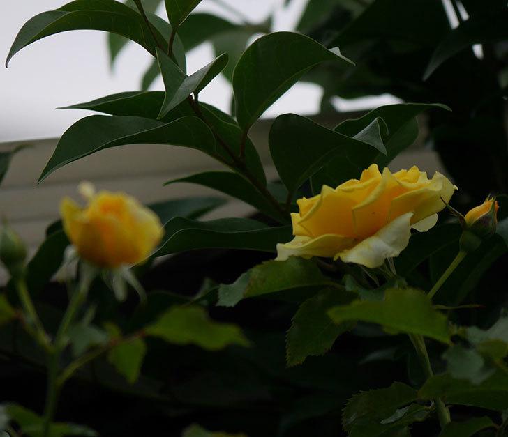 つるゴールドバニー(ツルバラ)の2番花が増えて来た。2019年-5.jpg