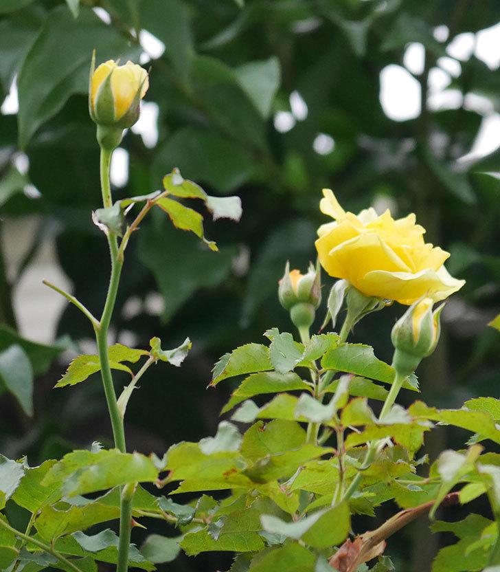 つるゴールドバニー(ツルバラ)の2番花が増えて来た。2019年-6.jpg