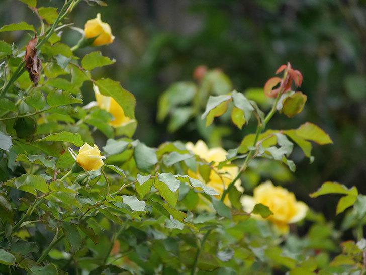 つるゴールドバニー(ツルバラ)の2番花が増えて来た。2019年-7.jpg