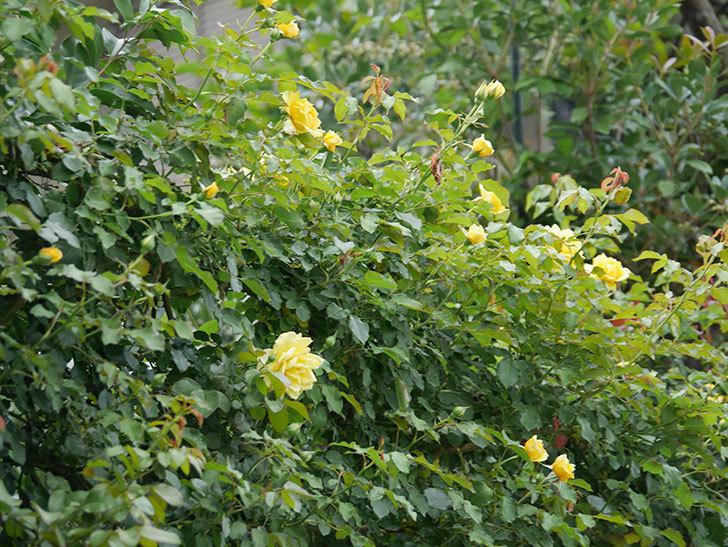 つるゴールドバニー(ツルバラ)の2番花が増えて来た。2019年-8.jpg