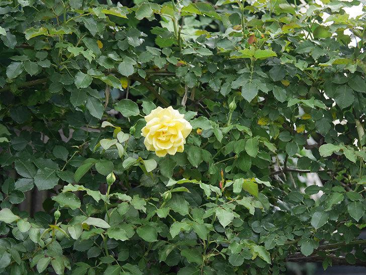 つるゴールドバニー(ツルバラ)の2番花が増えて来た。2019年-9.jpg