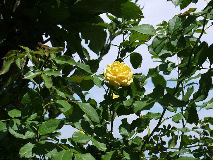 つるゴールドバニー(ツルバラ)の夏花が咲いた。2017年-2.jpg