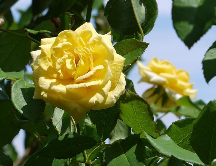 つるゴールドバニー(ツルバラ)の夏花が咲いた。2017年-3.jpg