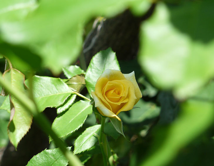 つるゴールドバニー(ツルバラ)の夏花が咲いた。2017年-4.jpg
