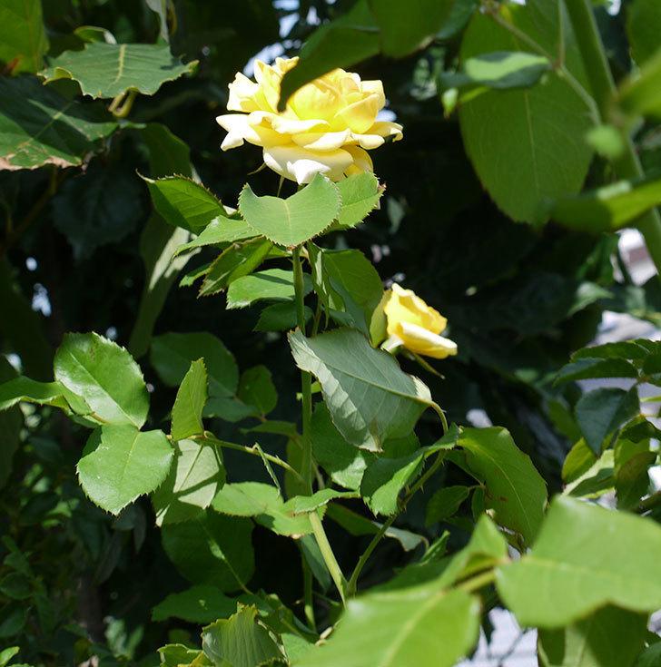 つるゴールドバニー(ツルバラ)の夏花が咲いた。2017年-5.jpg