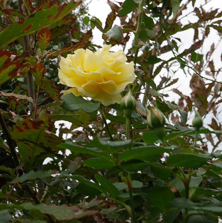 つるゴールドバニー(ツルバラ)の秋花が咲いた。2018年-2.jpg