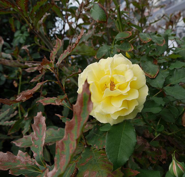 つるゴールドバニー(ツルバラ)の秋花が咲いた。2018年-4.jpg