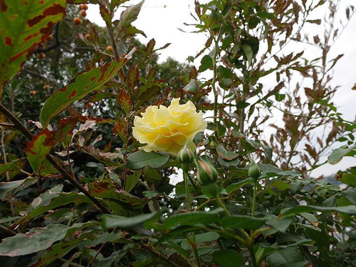 つるゴールドバニー(ツルバラ)の秋花が咲いた。2018年-5.jpg