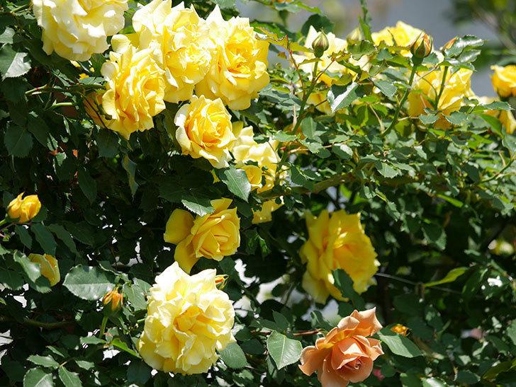 つるゴールドバニー(ツルバラ)の花がたくさん咲いた。2019年-1.jpg