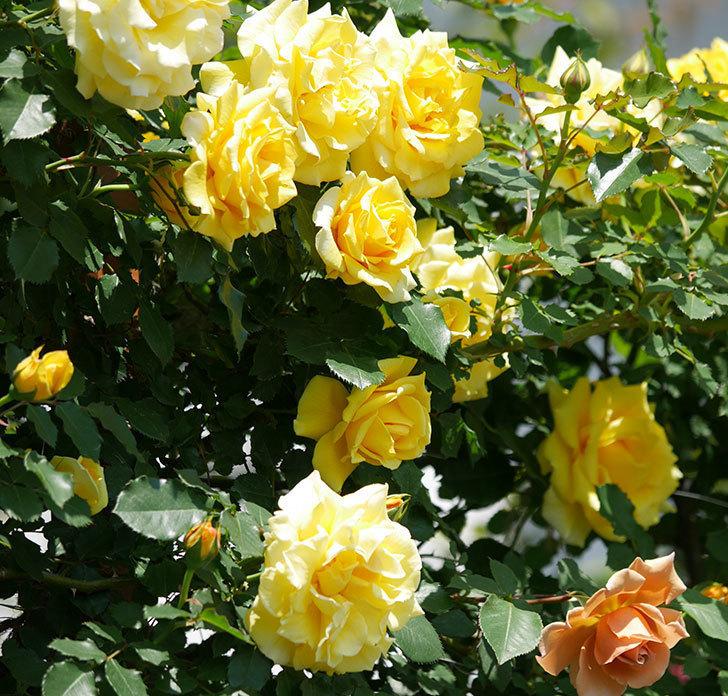 つるゴールドバニー(ツルバラ)の花がたくさん咲いた。2019年-10.jpg