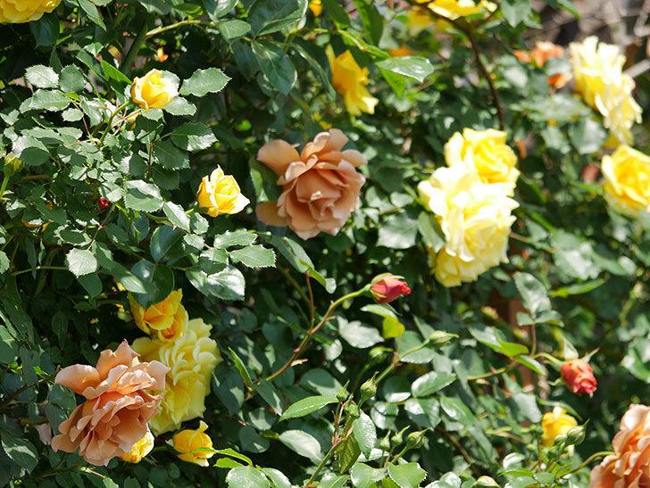 つるゴールドバニー(ツルバラ)の花がたくさん咲いた。2019年-11.jpg
