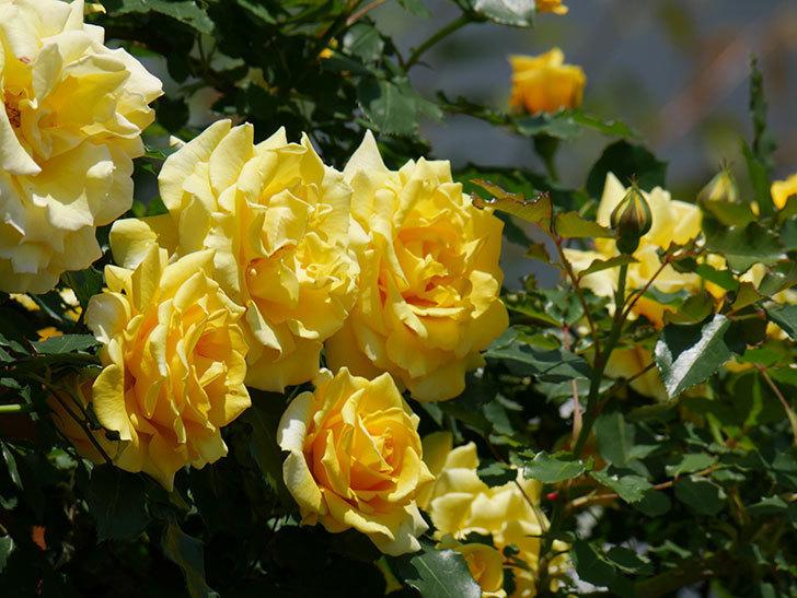 つるゴールドバニー(ツルバラ)の花がたくさん咲いた。2019年-12.jpg