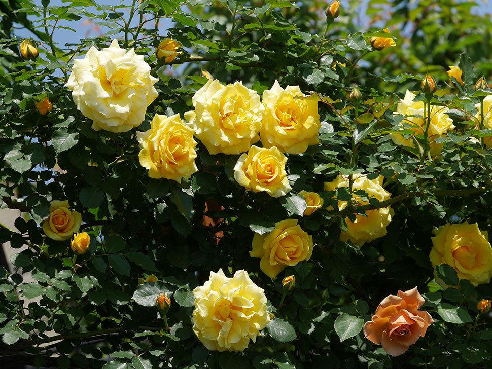 つるゴールドバニー(ツルバラ)の花がたくさん咲いた。2019年-14.jpg