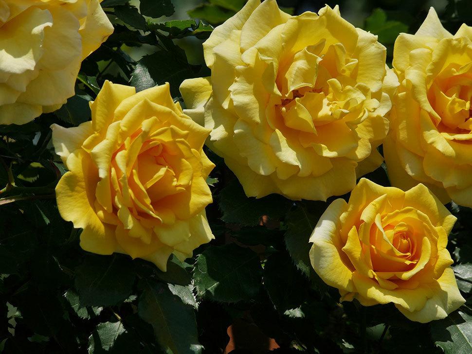 つるゴールドバニー(ツルバラ)の花がたくさん咲いた。2019年-16.jpg