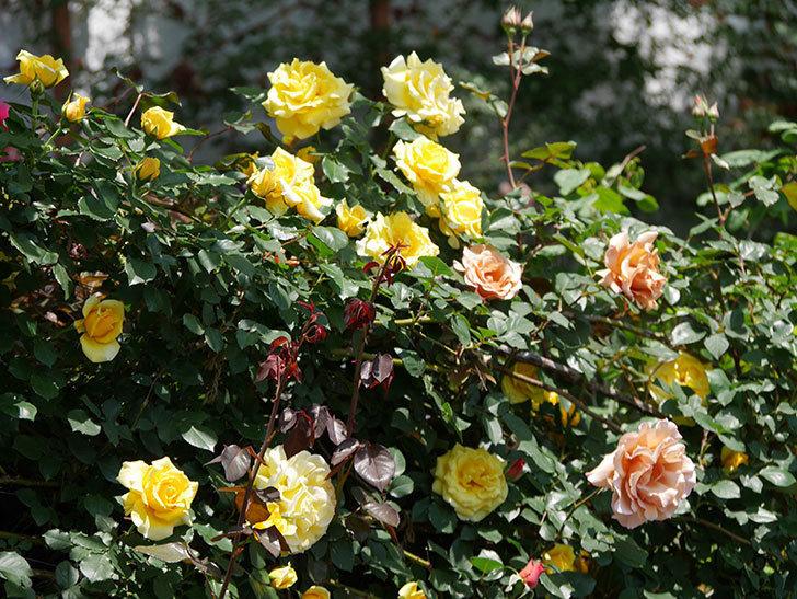 つるゴールドバニー(ツルバラ)の花がたくさん咲いた。2019年-17.jpg