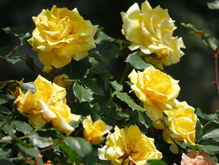 つるゴールドバニー(ツルバラ)の花がたくさん咲いた。2019年-18.jpg