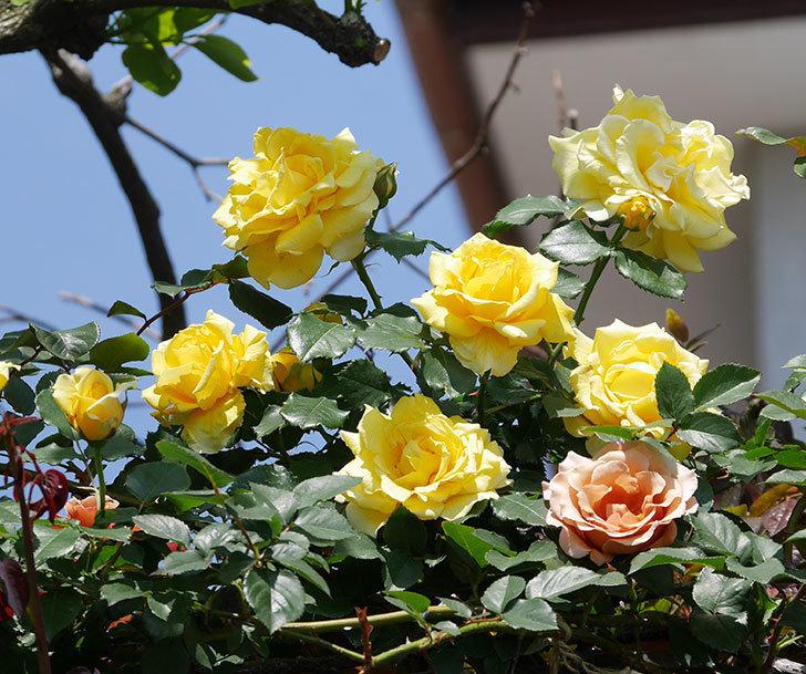 つるゴールドバニー(ツルバラ)の花がたくさん咲いた。2019年-19.jpg