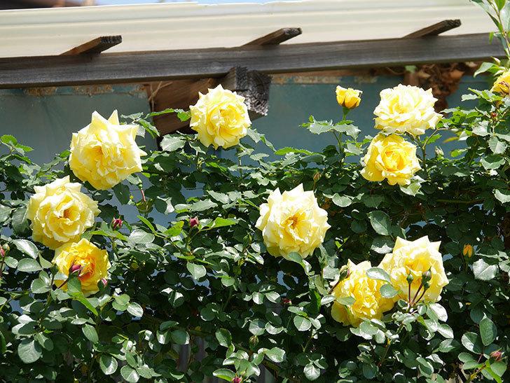 つるゴールドバニー(ツルバラ)の花がたくさん咲いた。2019年-2.jpg