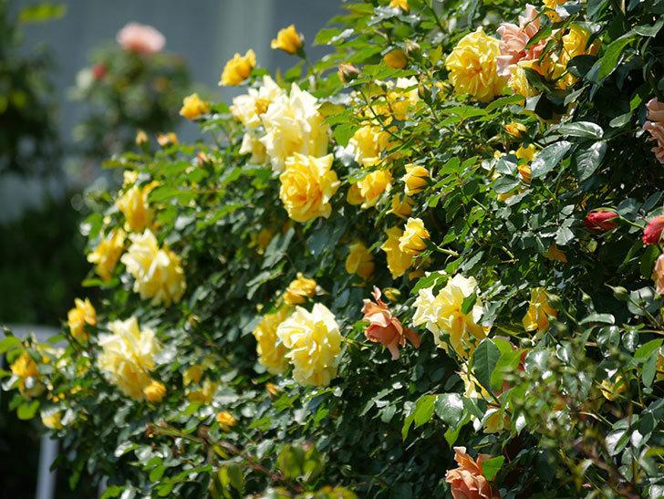 つるゴールドバニー(ツルバラ)の花がたくさん咲いた。2019年-20.jpg