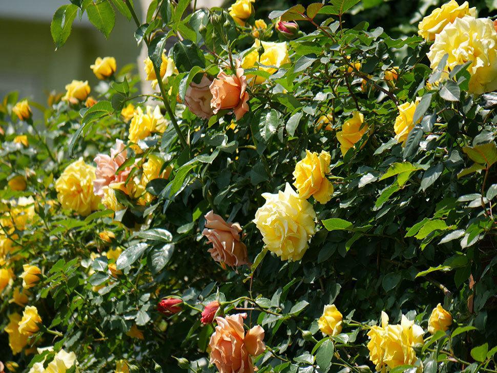つるゴールドバニー(ツルバラ)の花がたくさん咲いた。2019年-21.jpg