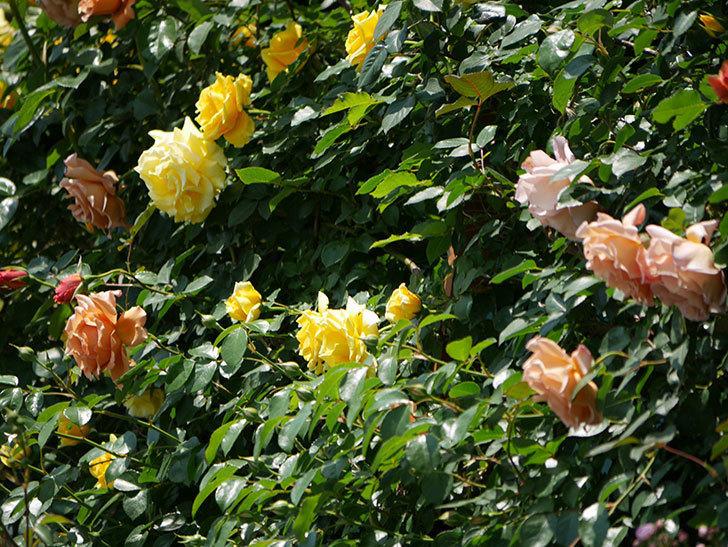 つるゴールドバニー(ツルバラ)の花がたくさん咲いた。2019年-22.jpg