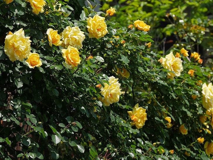 つるゴールドバニー(ツルバラ)の花がたくさん咲いた。2019年-4.jpg