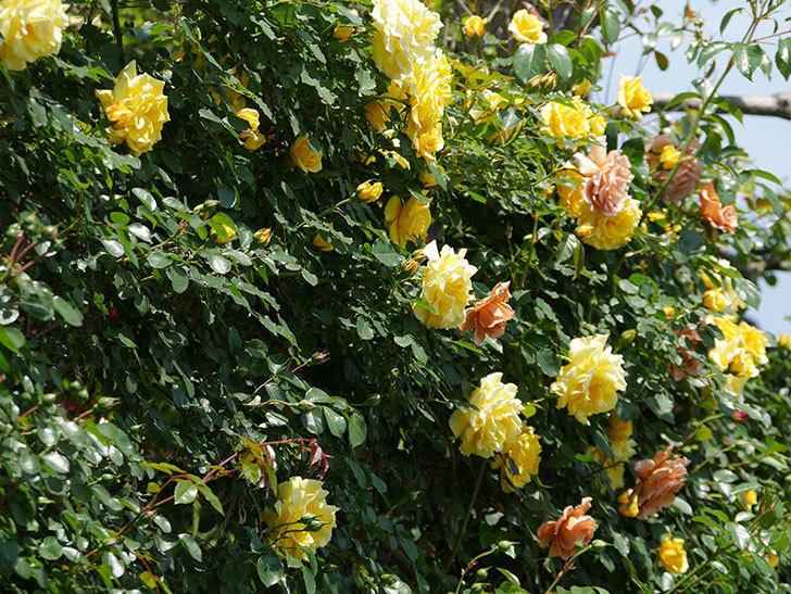 つるゴールドバニー(ツルバラ)の花がたくさん咲いた。2019年-5.jpg