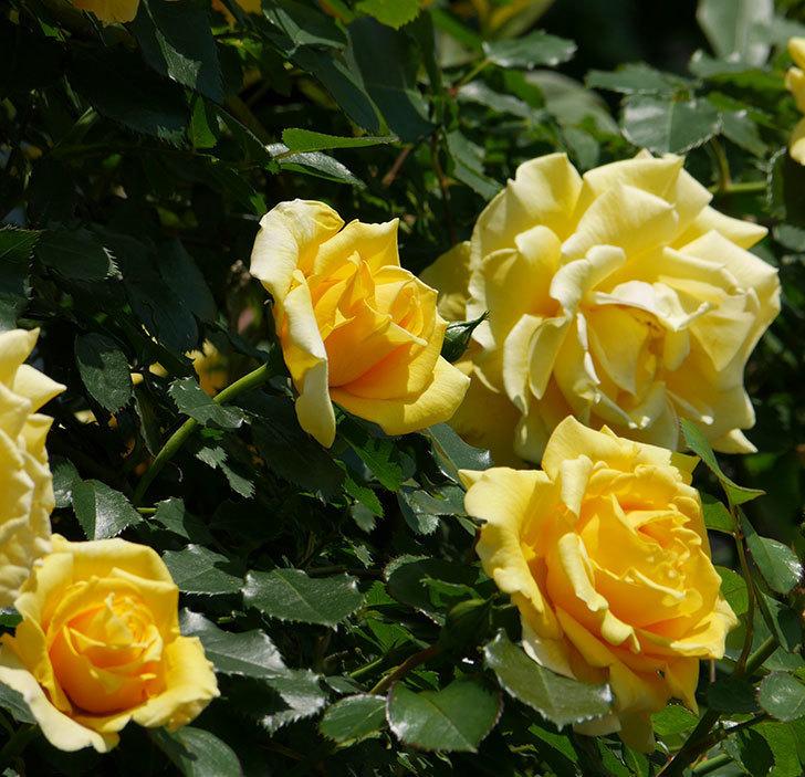 つるゴールドバニー(ツルバラ)の花がたくさん咲いた。2019年-6.jpg
