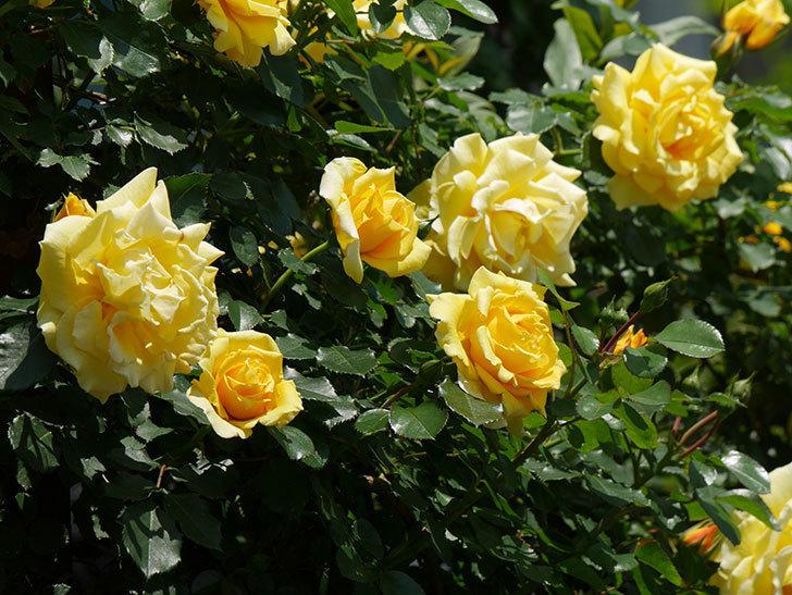 つるゴールドバニー(ツルバラ)の花がたくさん咲いた。2019年-7.jpg
