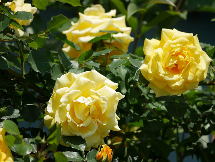つるゴールドバニー(ツルバラ)の花がたくさん咲いた。2019年-8.jpg