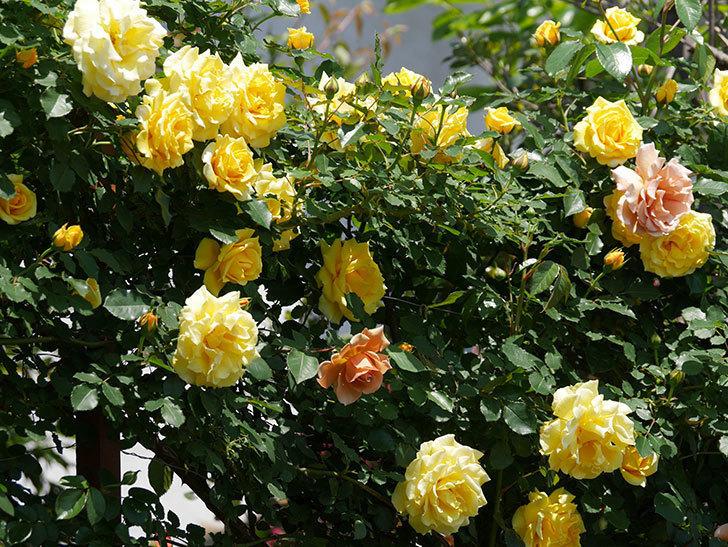 つるゴールドバニー(ツルバラ)の花がたくさん咲いた。2019年-9.jpg