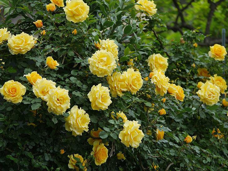 つるゴールドバニー(ツルバラ)の花がたくさん咲いた。2020年-1.jpg