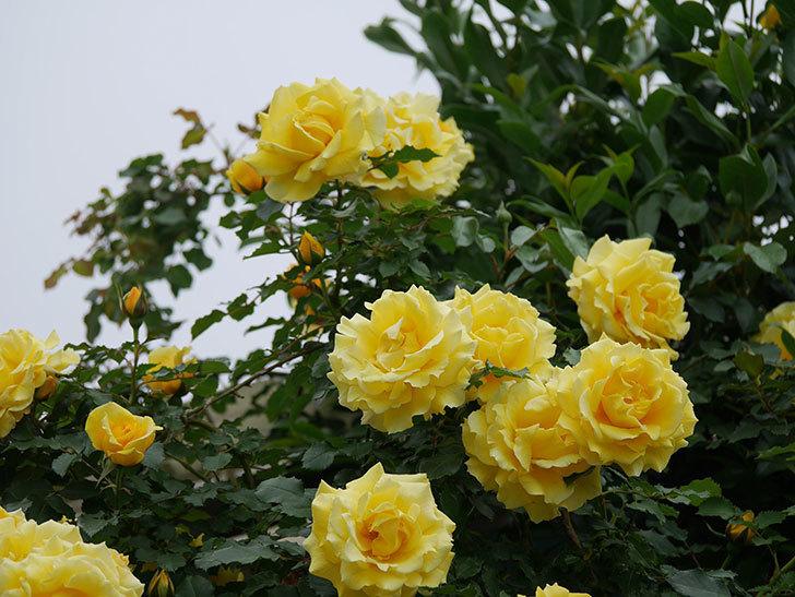 つるゴールドバニー(ツルバラ)の花がたくさん咲いた。2020年-11.jpg