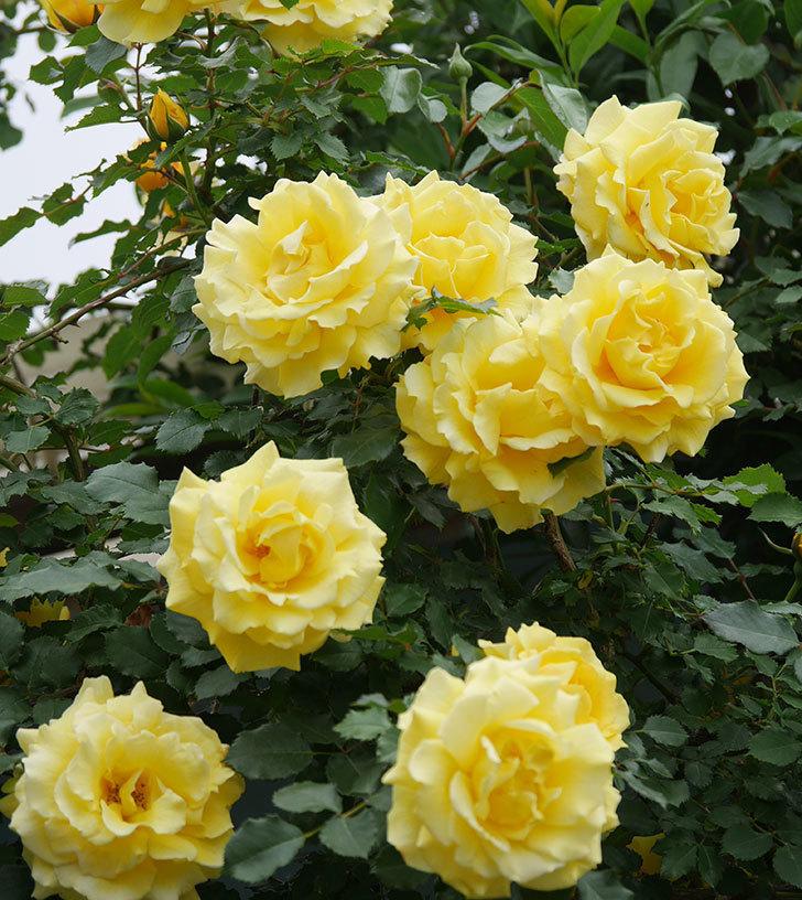 つるゴールドバニー(ツルバラ)の花がたくさん咲いた。2020年-12.jpg