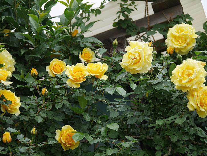 つるゴールドバニー(ツルバラ)の花がたくさん咲いた。2020年-13.jpg